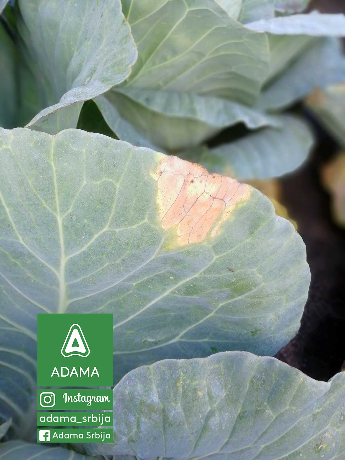 Agrosaveti---Adama---Povce---Kupus---Kupusnjace---Crna-trulez-03