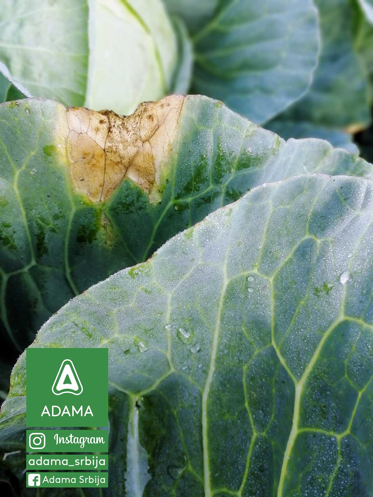 Agrosaveti---Adama---Povce---Kupus---Kupusnjace---Crna-trulez