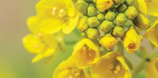 Agrosaveti---Adama---uljana-repica-01