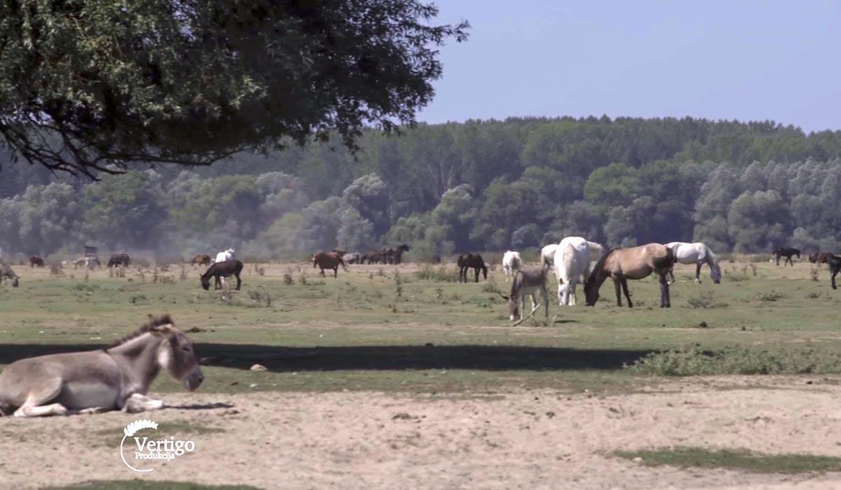 Agrosaveti - Autohtone rase na Krčedinskoj adi 03