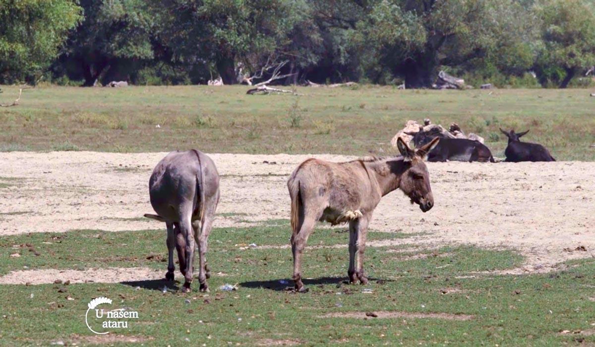 Agrosaveti - Autohtone rase na Krčedinskoj adi 04