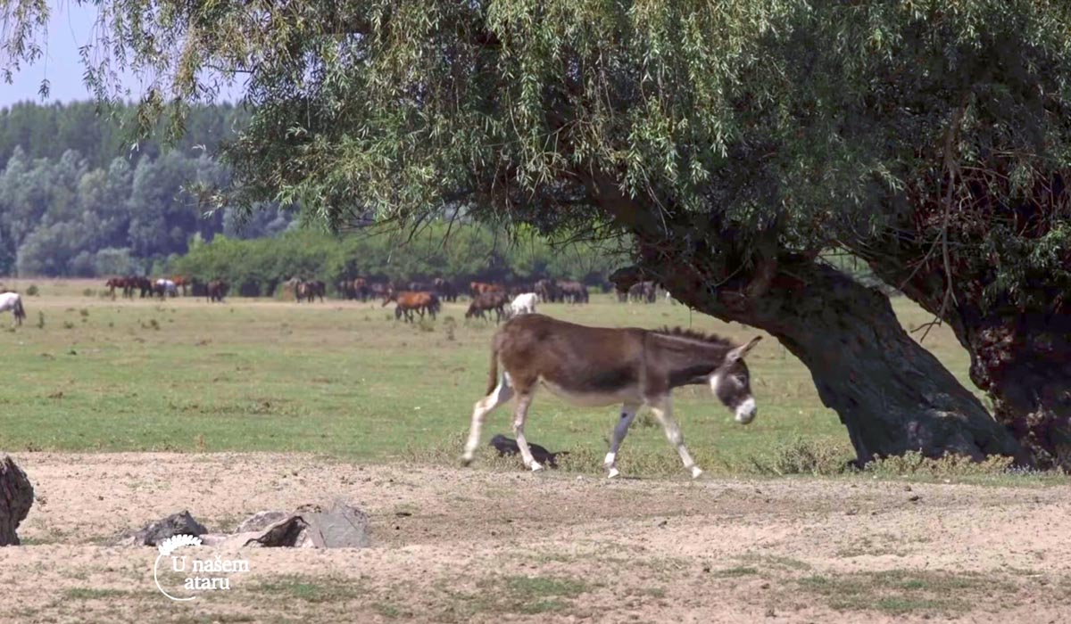 Agrosaveti - Autohtone rase na Krčedinskoj adi 06