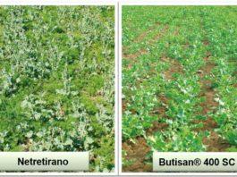 Agrosaveti---BASF---Butisan-zastita-uljane-repice-01