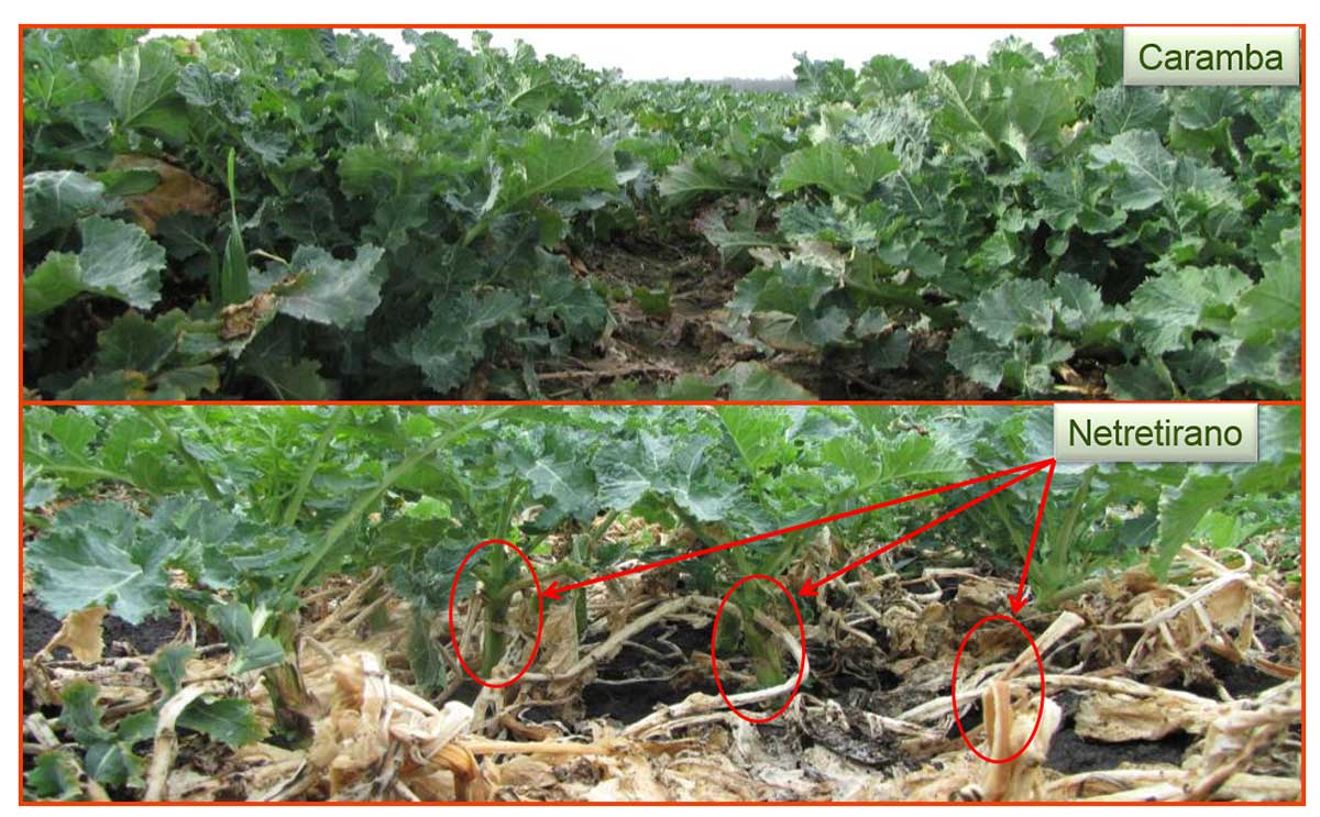 Agrosaveti---BASF--Caramba---zastita-uljane-repice-05