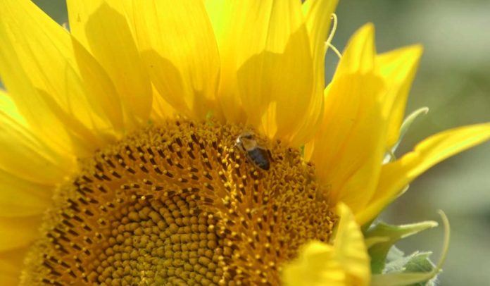 Agrosaveti - Cena suncokreta 01