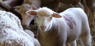 Agrosaveti - Farma Ile de France ovaca porodice Čuletić 05