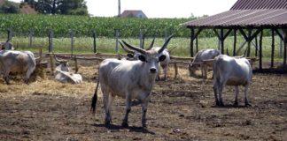 Agrosaveti - Farma podolskih goveda 07