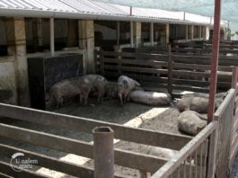 Agrosaveti - Farma svinja u Bajši 03