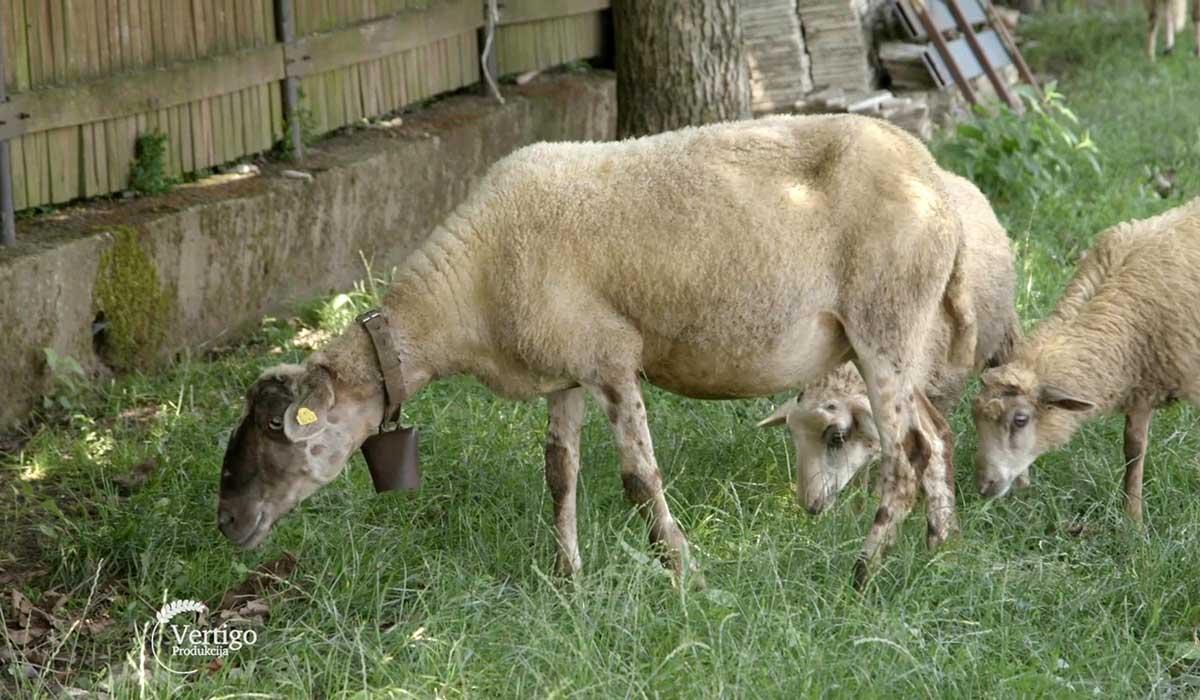 Agrosaveti - Kako od neumatičenog do umatičenog stada ovaca 03