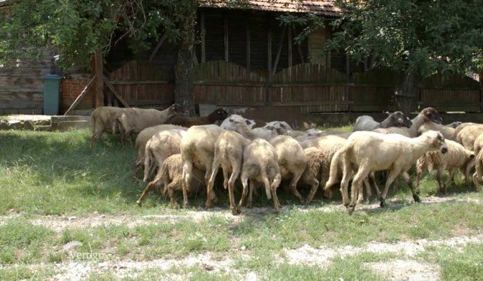 Agrosaveti - Kako od neumatičenog do umatičenog stada ovaca 04