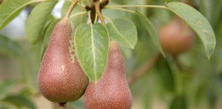 Agrosaveti - Manjak krušaka na tržištu 01