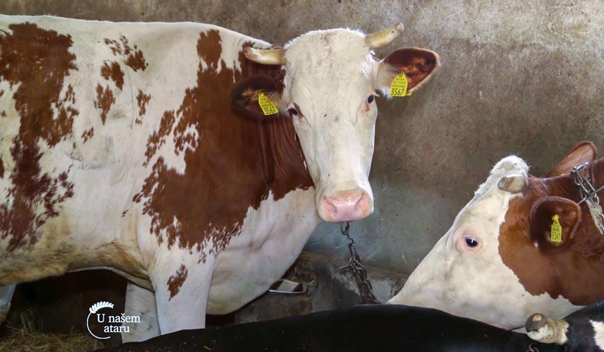 Agrosaveti - Mlečno govedarstvo i tov junadi u selu Vukašinovac 01