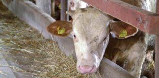 Agrosaveti - Mlečno govedarstvo i tov junadi u selu Vukašinovac 02