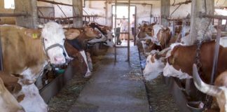 Agrosaveti - Mlečno govedarstvo u Žitištu 01