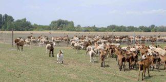 Agrosaveti - Najveća organska farma koza 07