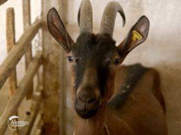 Agrosaveti - Oboljenja kod koza 06