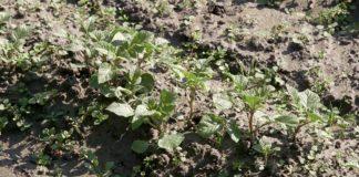 Agrosaveti - Organska proizvodnja povrća u Futogu 01