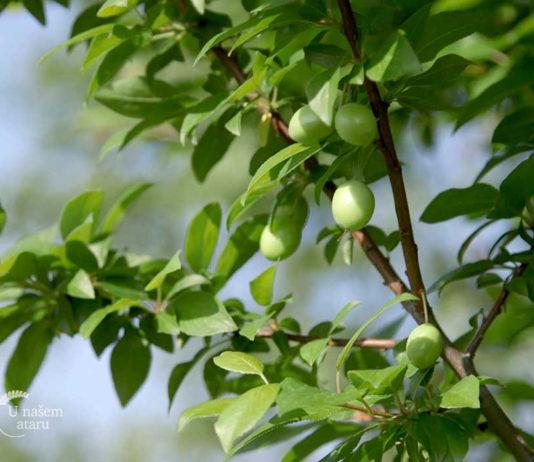 Agrosaveti - Organska proizvodnja voća 04
