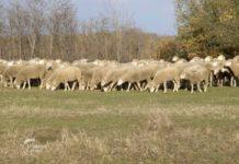 Agrosaveti - Organski uzgoj ovaca 05