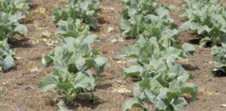 Agrosaveti - Organsko seme 03
