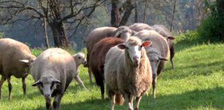 Agrosaveti - Otkup vune u Srbiji 02