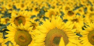 Agrosaveti - Otkupna cena suncokreta 01