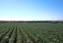 Agrosaveti - Paprike na otvorenom u Ruskom Krsturu 01
