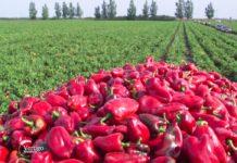 Agrosaveti - Paprike na otvorenom u Ruskom Krsturu 04