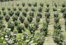 Agrosaveti - Plantaže lešnika u selu Banjani 07