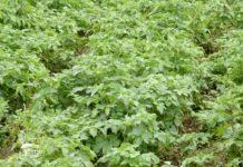 Agrosaveti - Proizvodnja krompira u Koštunićima 05