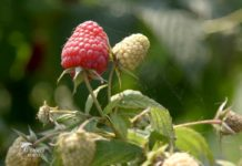 Agrosaveti - Proizvodnja malina Kalinovac 01