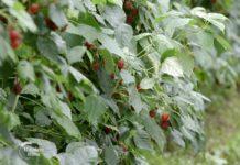 Agrosaveti - Proizvodnja malina u Teočinu 05