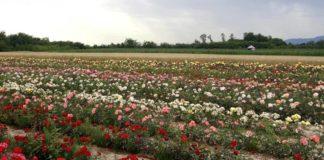 Agrosaveti - Proizvodnja ruža u Lipolistu 04