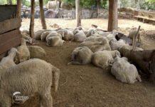 Agrosaveti - Stočarska proizvodnja u Sanadu 01