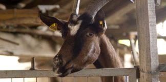 Agrosaveti - Uzgoj alpino koza u Sanadu 05