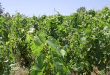 Agrosaveti - Uzgoj vinograda i proizvodnja vina u Sićevu 04