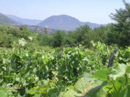 Agrosaveti - Uzgoj vinograda i proizvodnja vina u Sićevu 05