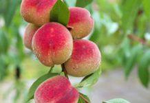 Agrosaveti - Zabrana uvoza koštunjavog voća u Rusiju 01