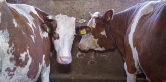 Farma krava i proizvodnja mleka u selu Vrtište 03