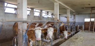 Farma krava u selu Veliko Krcmare 01