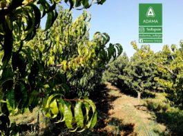 Agrosaveti---Adama---Ervinia---plod---jesenje-plavo-prskanje---voce---breskva---tresnja-01