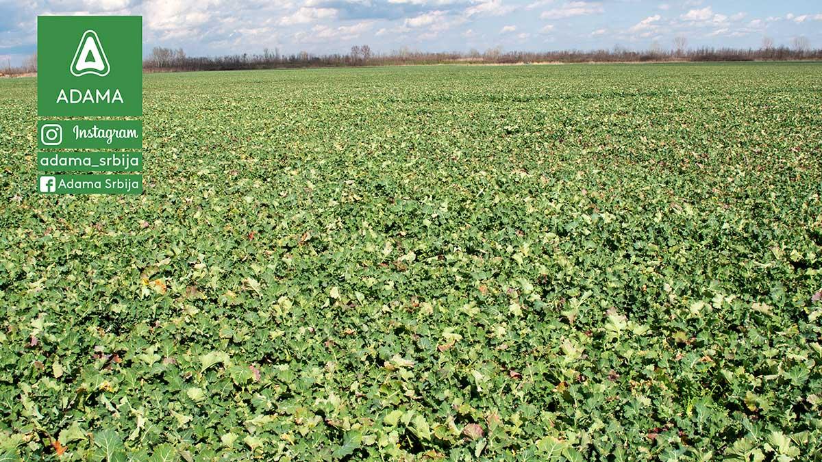 Agrosaveti---Adama---Uljana-repica---seme---setva---zastita-bilja-02