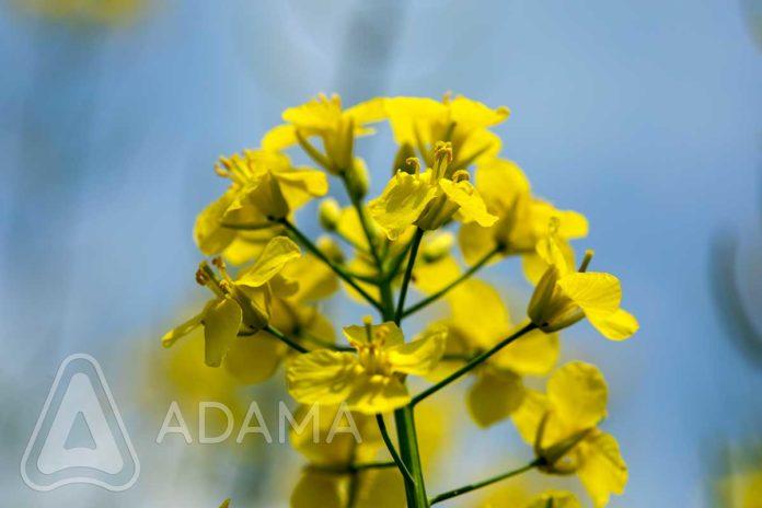 Agrosaveti---Adama---Uljana-repica---seme---setva---zastita-bilja-03