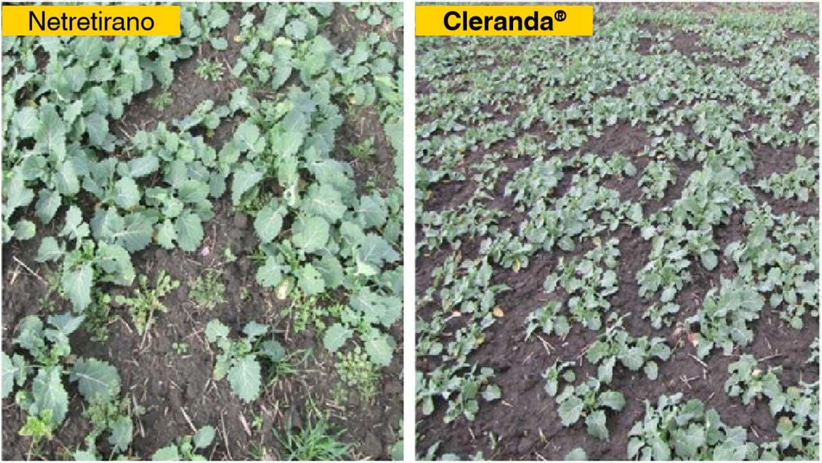 Agrosaveti---BASF---uljana-repica---clearfield-03