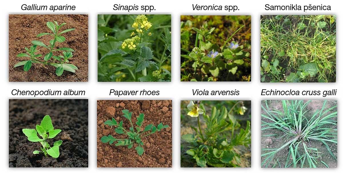 Agrosaveti---BASF---uljana-repica---clearfield-04