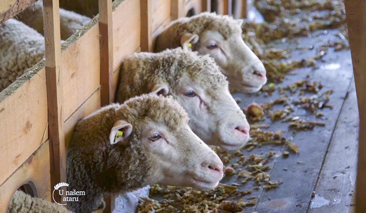 Agrosaveti - Farma Ile de France ovaca u Kaću 01
