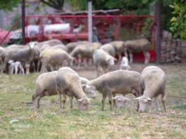 Agrosaveti - Farma Ile de France ovaca u Kaću 07