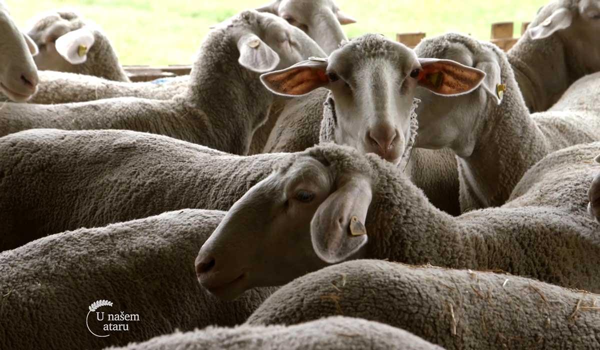 Agrosaveti - Farma virtemberg ovaca u Ravnom Selu 01