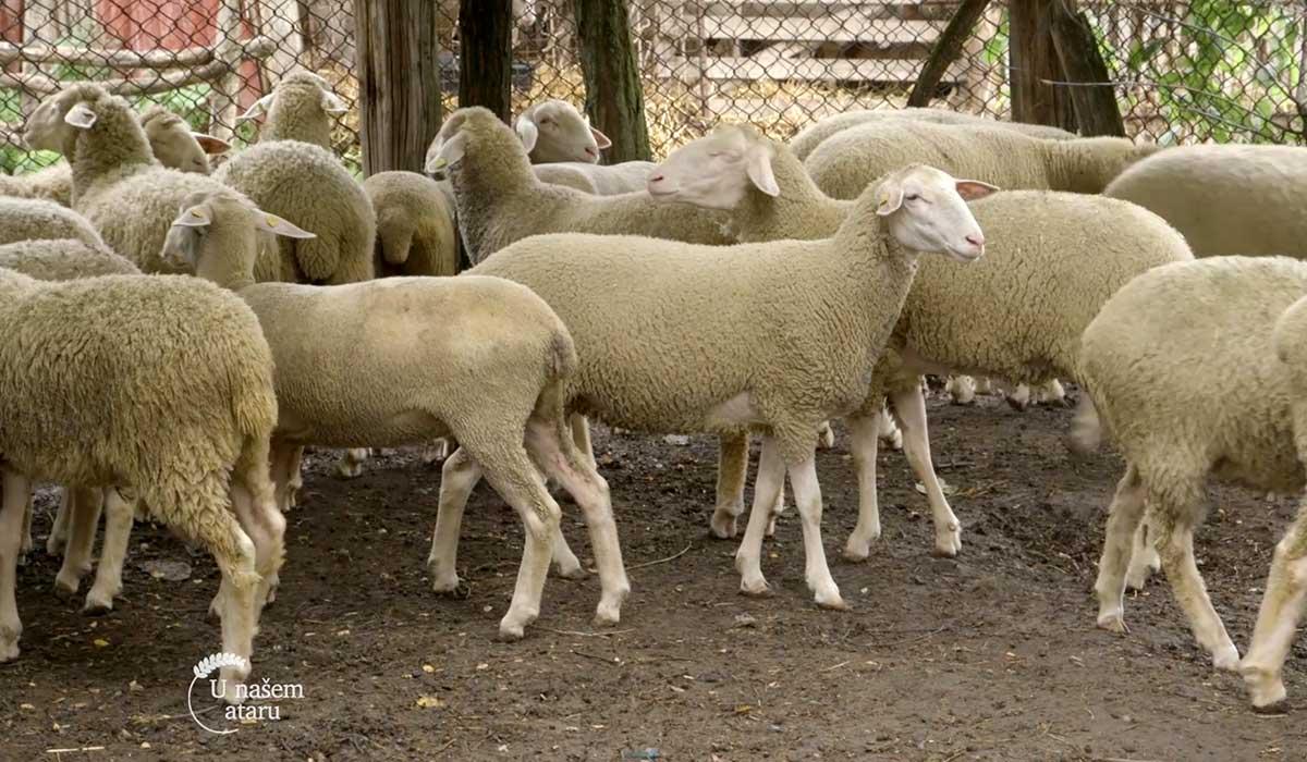 Agrosaveti - Farma virtemberg ovaca u Ravnom Selu 02
