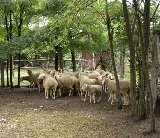 Agrosaveti - Farma virtemberg ovaca u Ravnom Selu 03